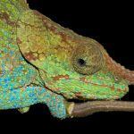 How Long Can Chameleons Be Left Alone?