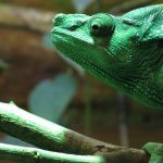 Do Chameleons Smell? 10 Ways They Can