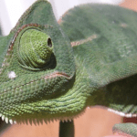 Why Chameleons Get White Stuff Around Their Nose