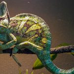 How Much & How Often Do Chameleons Eat?