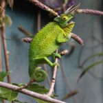 What Do Chameleons Do? 10 Things That Make Them Cool Pets