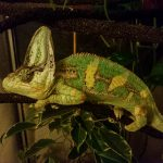 How Long Do Chameleons Sleep? A Guide To Night Time Care