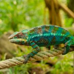 All You Need To Know About Chameleon Poop & Pee