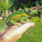 Can you hold a chameleon?