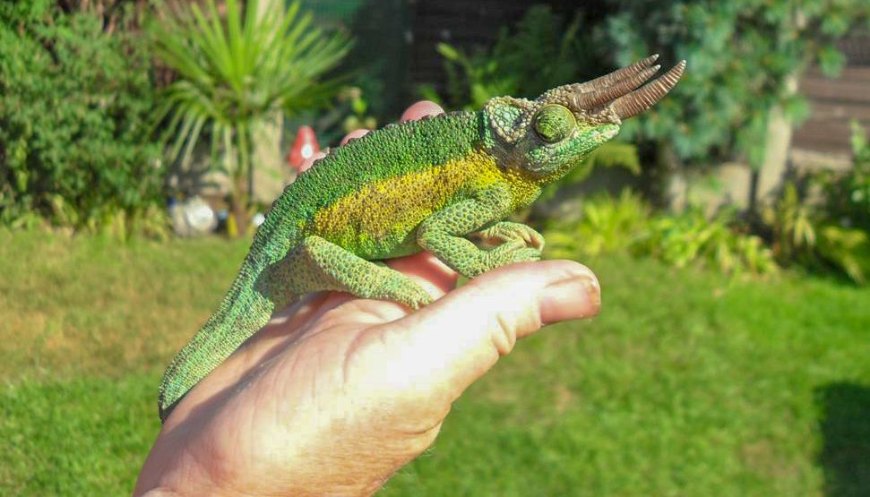 Can You Hold A Chameleon The Answer Might Disappoint You Chameleon School