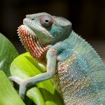 50 Nifty Chameleon Facts