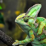 How Big Do Chameleons Get? A Guide To Their Growth