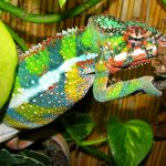 Are Chameleons Good Pets? The Pros & Cons Of Owning One