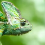 600 Awesome Chameleon Names