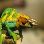 Chameleon Behavior