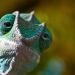8 Amazing Facts About Chameleon Eyes