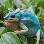 Are chameleons hard to take care of?