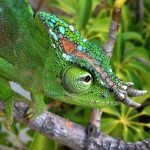10 Places Where To Buy A Chameleon