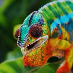 30 Awesome Panther Chameleon Facts