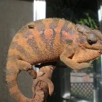 Why Is My Chameleon Not Eating?  How To Stop Worrying About It