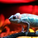 14 Ways Chameleons Get Sick - Disease Symptoms You Need To Know