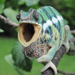 Why Do Chameleons Hiss? How To Prevent It