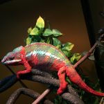 Do Chameleons Need A Heat Lamp?