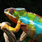 Can You Bathe A Chameleon?