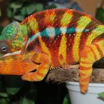 Do Chameleons Need Calcium?